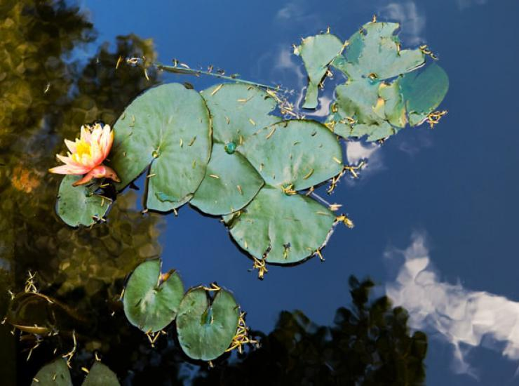 Lily pads on reflective water
